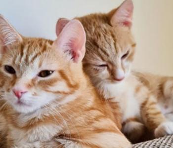 Kahe kassipoja elu aitab päästa vaid tuhandeid eurosid maksev eksperimentaalne ravim