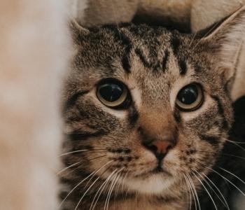 Kassiabiorganisatsioon annab nõu: mida tuleks teha, leides hulkuva kassi?