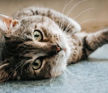 Aita abivajajat: kuu aega kliinikus veetnud kass Andrei ootab tähtsat uuringut