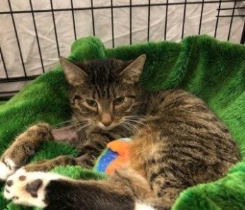 Jänksi lugu | Koroonaviiruse tõttu haigestunud kass pääses napilt eutanaasiast