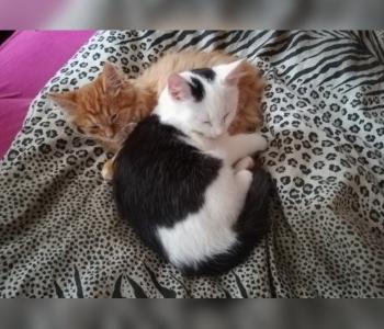 Lucky ja Lamborgini lugu: mis on saanud Sillamäel mürgitatud kassidest? Vennad hoiavad teineteisest kinni