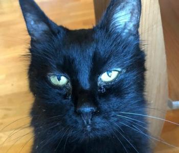 Isepäine ja arukas Must Lõvitar loodab musta kassi kuul päriskoju pääseda