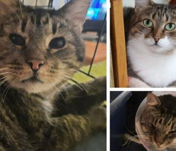 Pimedana hoiukoju sattunud kass sai tänu silmast eemaldatud ripsmetele nägemise tagasi