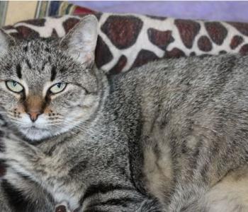 Tikri lugu: hingamisraskustega ja diabeedihaige kassipoiss tahab väga terveks saada