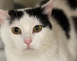 PÄEVAKÄPP ⟩ Kassitoa kõige arglikum kass: kodu otsib imearmas lehmamustriga Katrin
