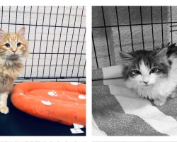 Kurvad pühad kasside varjupaigas: ootamatult rünnanud viirus võttis kaasa mitu looma ja jättis maha hiiglasliku arve