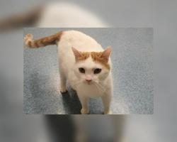Victori lugu | kauni välimuse ja leebe iseloomuga kass vajab kiiresti hoiukodu