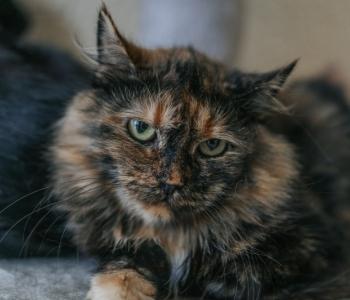 5 lõbusat fakti kilpkonnamustiga kassidest